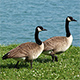 Message from the Future Regarding Impending Canada Geese Invasion