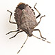 Stink Bug Facts